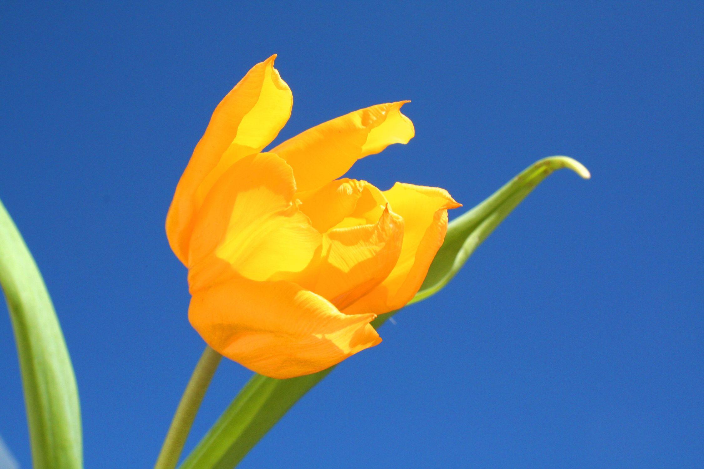 Bild mit Farben, Gelb, Gelb, Natur, Pflanzen, Blumen, Blumen, Blume, Pflanze, Tulpe, Tulips, Tulpen, gelbe Tulpe, Tulipa, Flower, Flowers, Tulip, gelbe Tulpen, yellow tulip, yellow tulips, yellow