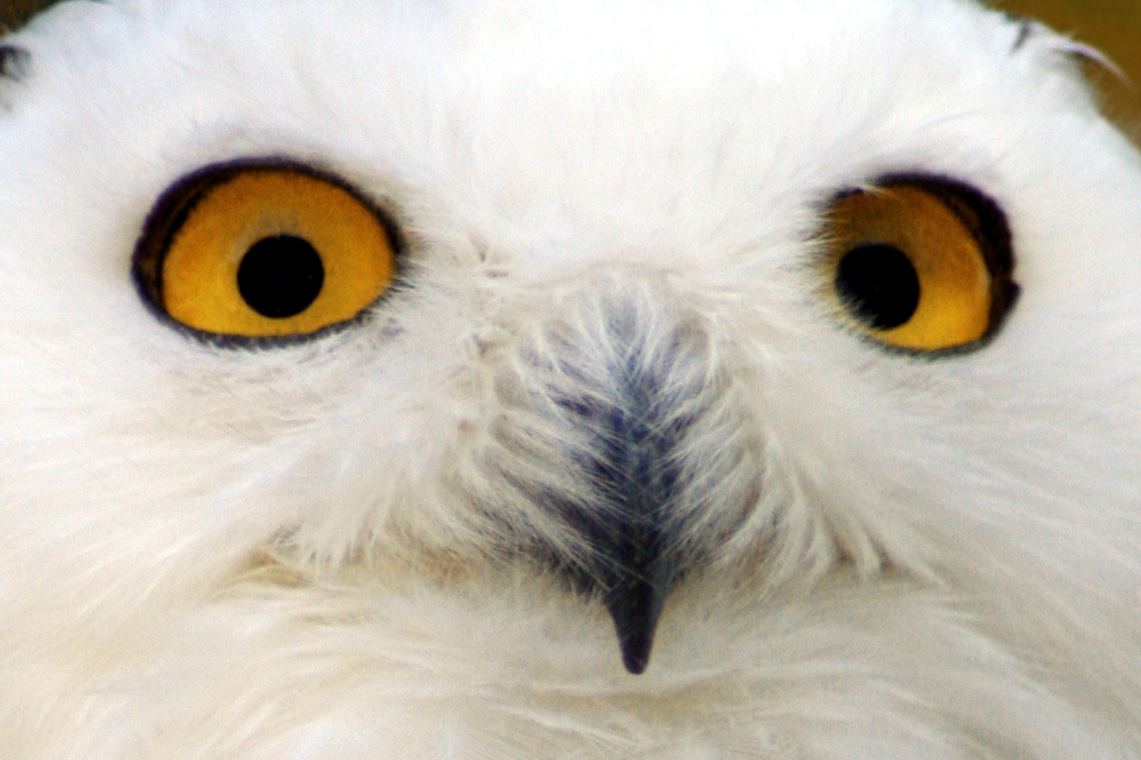 Bild mit Tiere, Menschen, Körperteile, Köpfe, Augen, Nasen, Vögel, Raubvögel, Eulen, Schneeeulen, Tier, Eule, Schneeeule, Schnee Eule, Uhu, Bubo scandiacus, Bubo scandiaca, Nyctea scandiaca, Uhus, Bubo, Vogelart