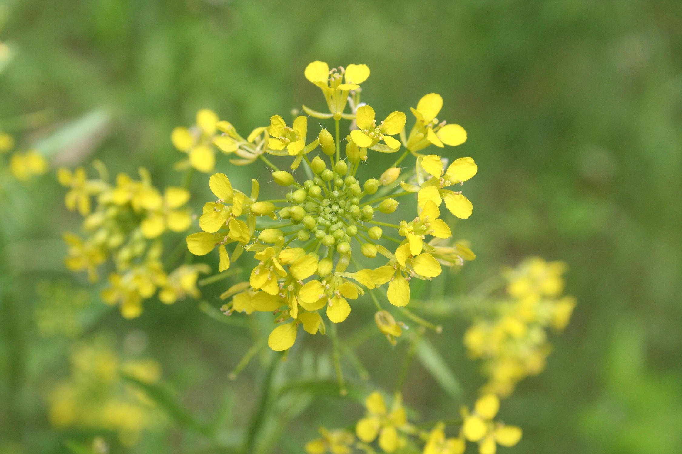 Bild mit Farben, Gelb, Gegenstände, Natur, Pflanzen, Lebensmittel, Essen, Blumen, Raps, Kreuzblütler, Senf