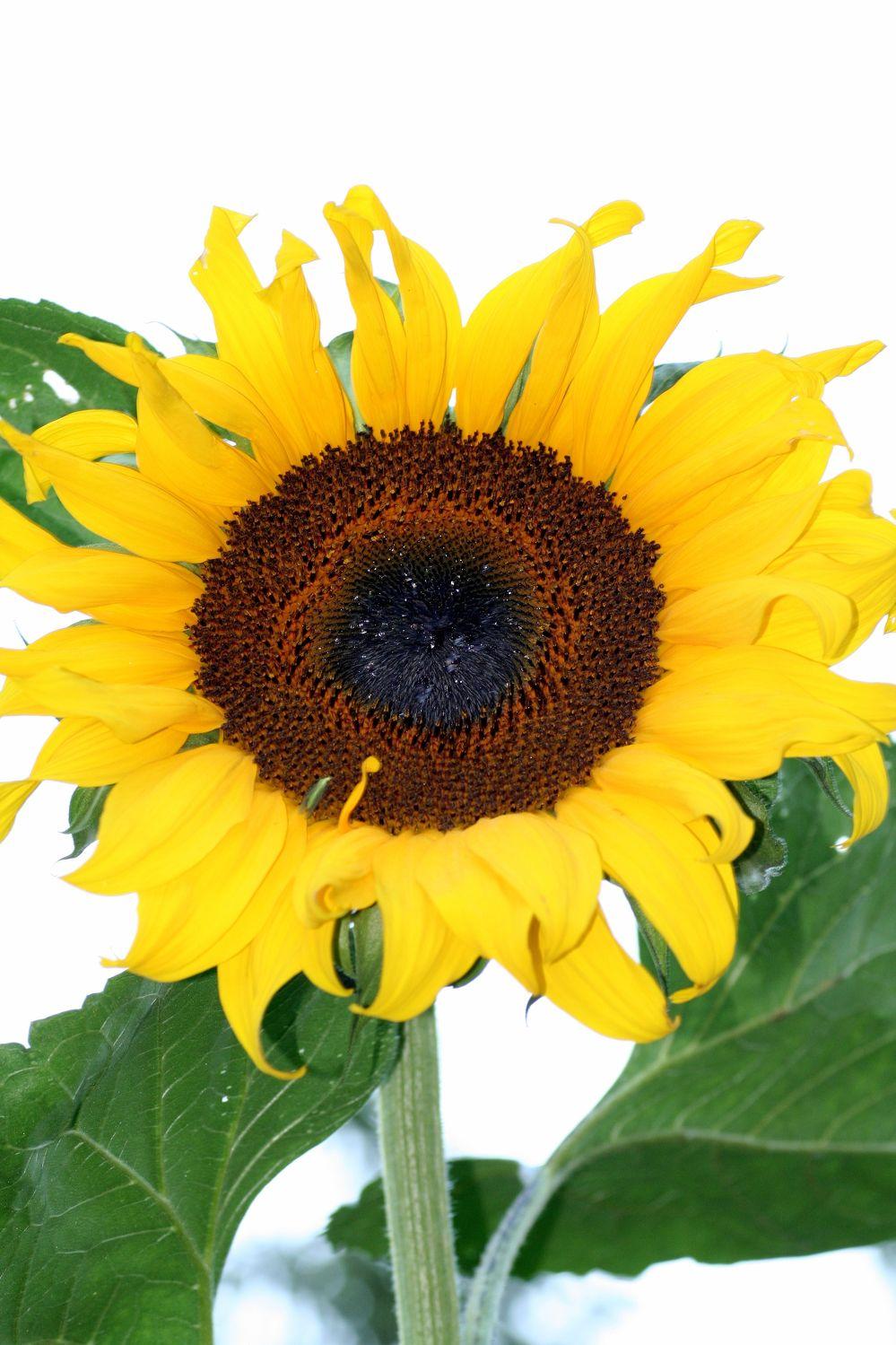 Bild mit Gelb, Natur, Pflanzen, Lebensmittel, Essen, Blumen, Korbblütler, Sonnenblumen, Blume, Flower, Flowers, Sonnenblume, Sunflower, Sunflowers