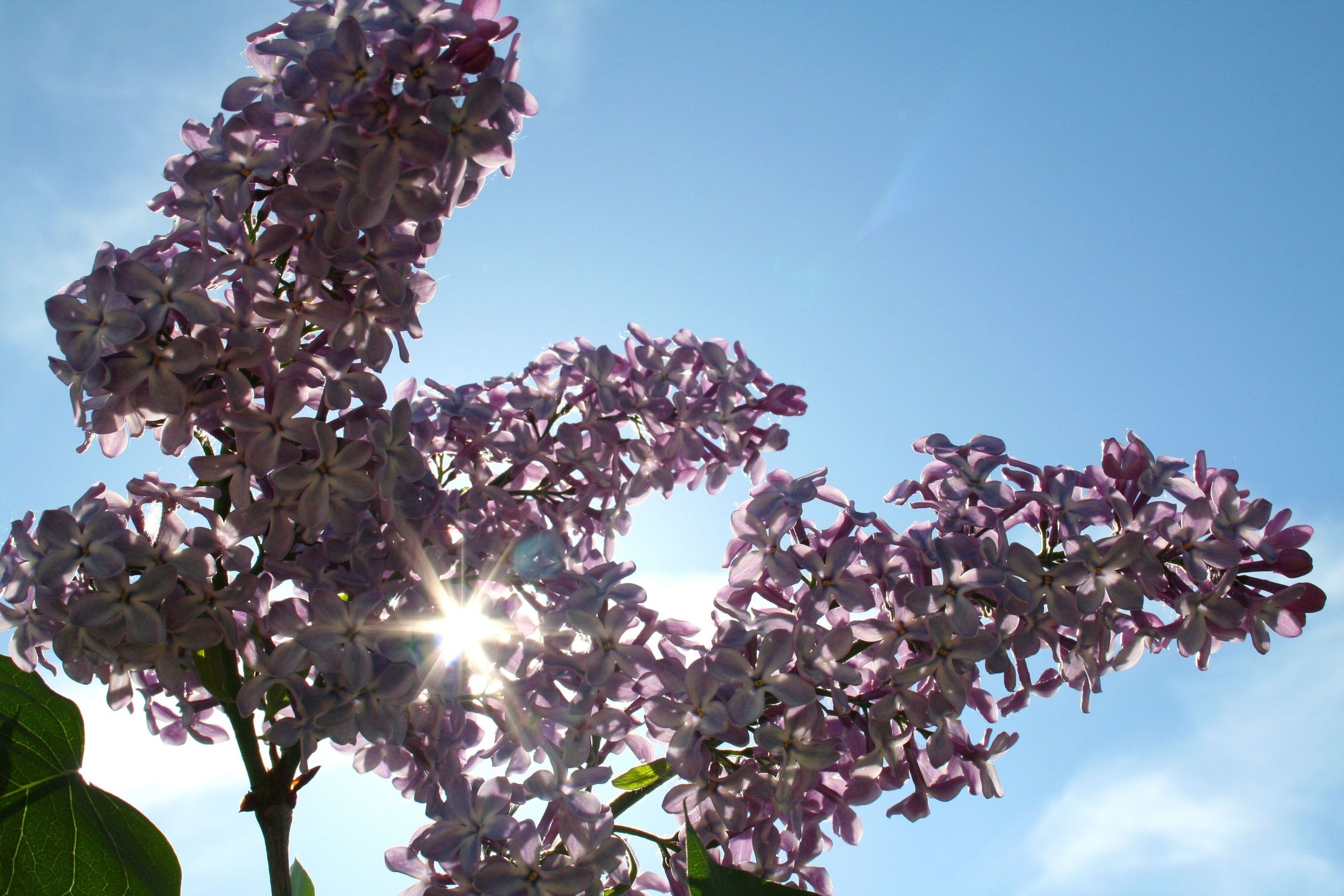 Bild mit Farben, Natur, Pflanzen, Himmel, Bäume, Jahreszeiten, Blumen, Lila, Frühling, flieder
