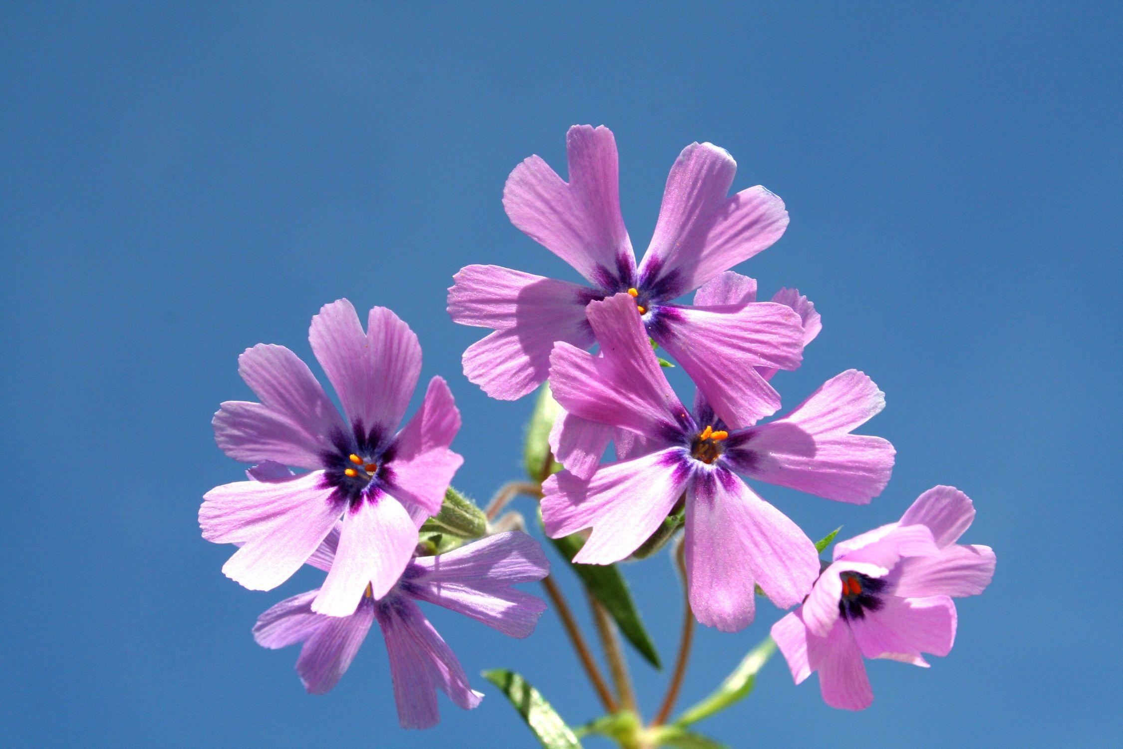 Bild mit Farben, Natur, Pflanzen, Pflanzen, Blumen, Blumen, Rosa, Lila, Blume, Pflanze, Flower, sunshine