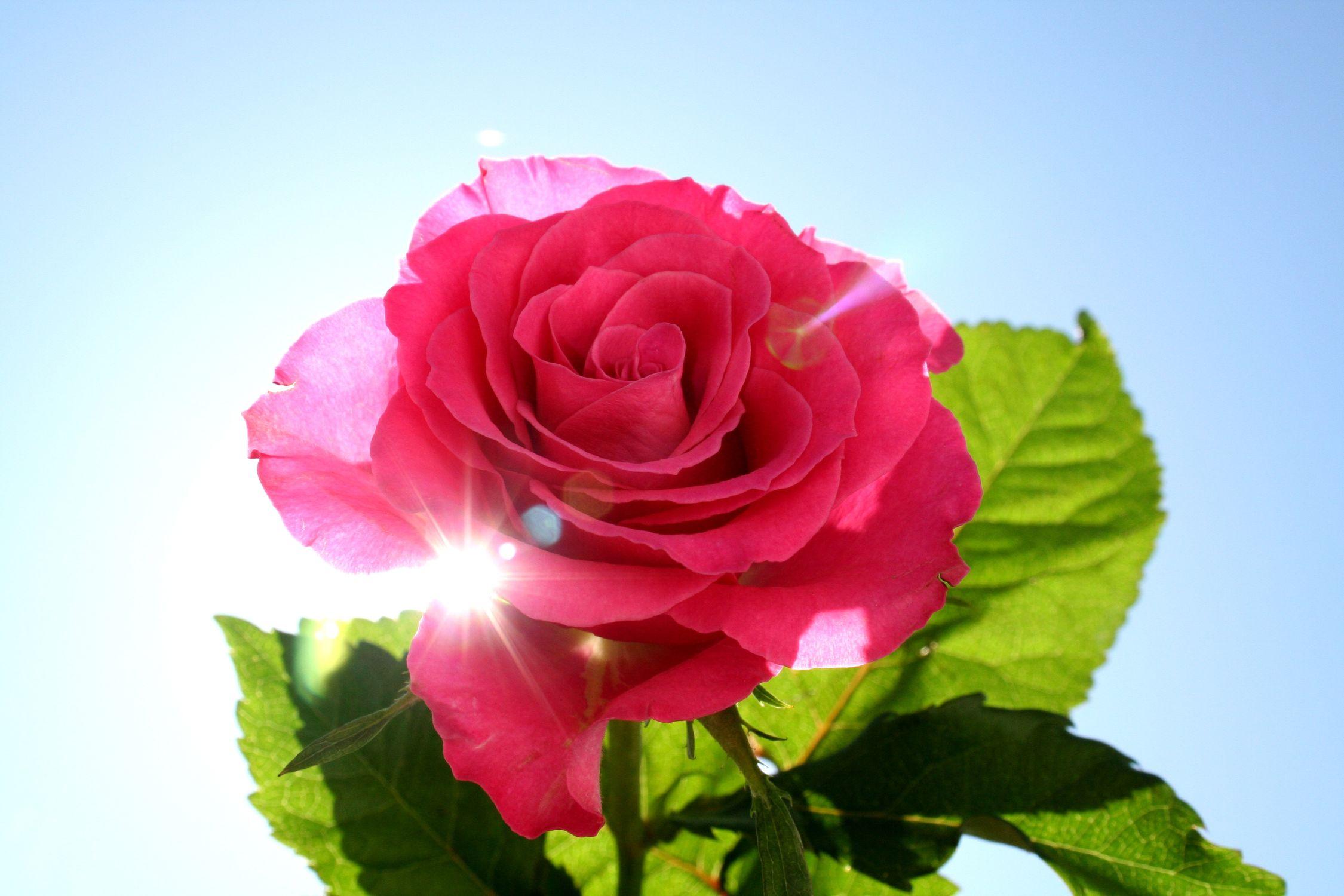 Bild mit Farben, Natur, Pflanzen, Blumen, Rosa, Rosen, Kamelien, Blume, Pflanze, Rose