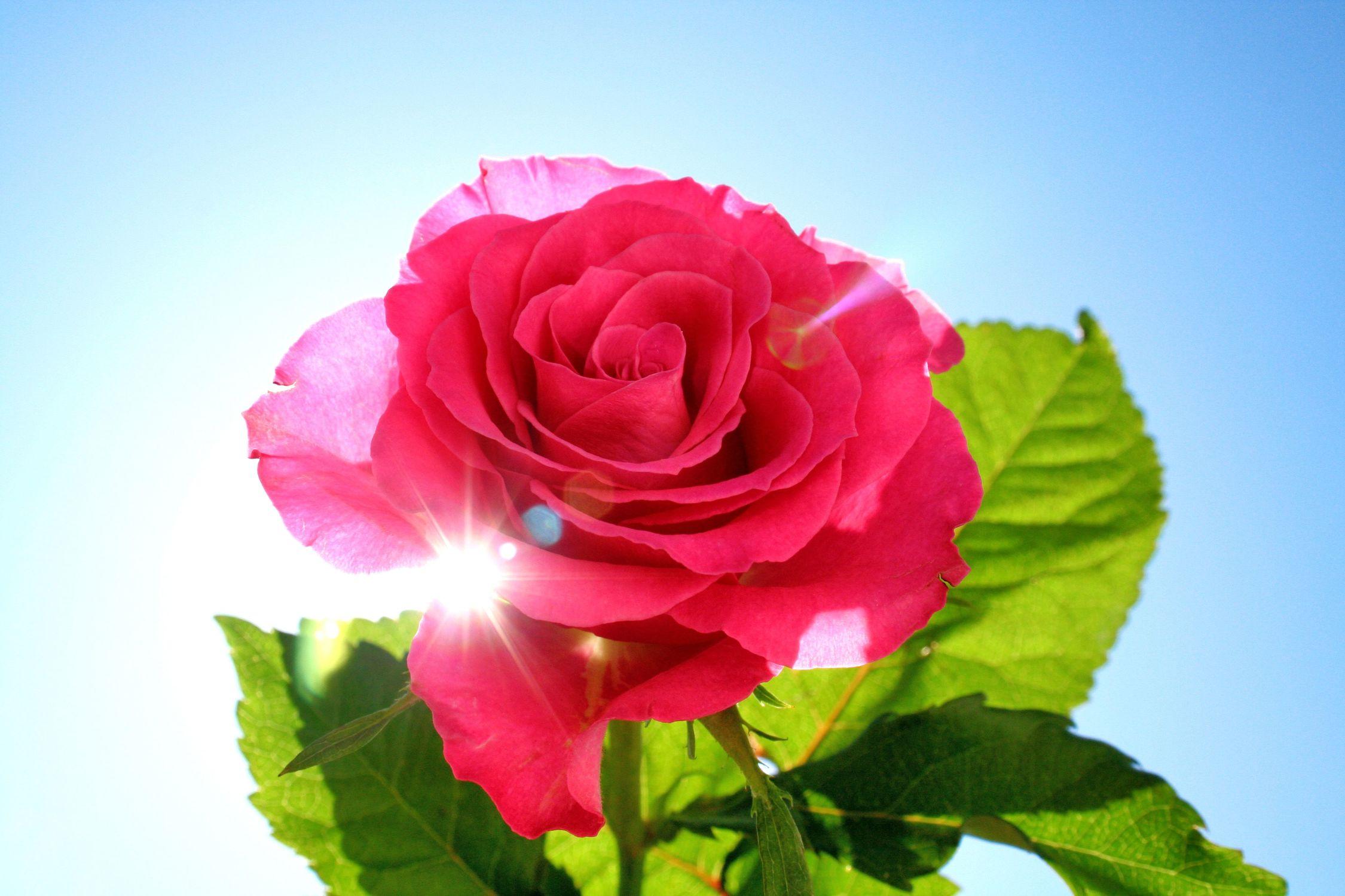 Bild mit Farben, Natur, Grün, Pflanzen, Blumen, Blumen, Rosa, Rot, Rosen, Blau, Kamelien, Blume, Pflanze, Rose, Roses, rote Rose, Gegenlicht, Flower, Flowers, red Rose, osaceae