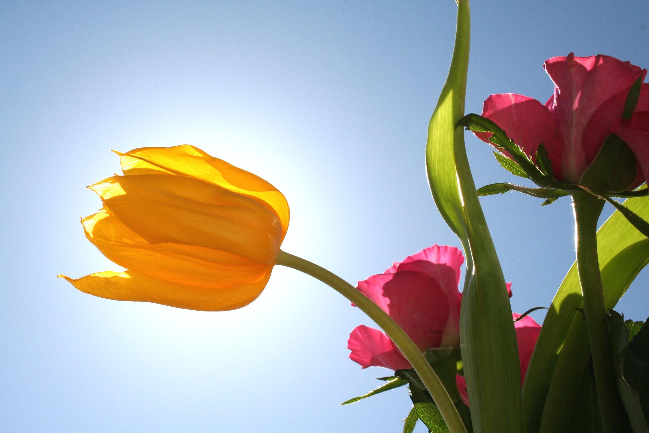 Bild mit Natur, Pflanzen, Himmel, Jahreszeiten, Blumen, Blumen, Rosa, Frühling, Blume, Pflanze, Rose, Roses, rote Rose, Tulips, Tulpen, gelbe Tulpe, Tulipa, Gegenlicht, Flower, Flowers, Tulip, red Rose, osaceae, red, gelbe Tulpen, yellow tulip, yellow tulips, yellow, ulpe, Blumenstrauß