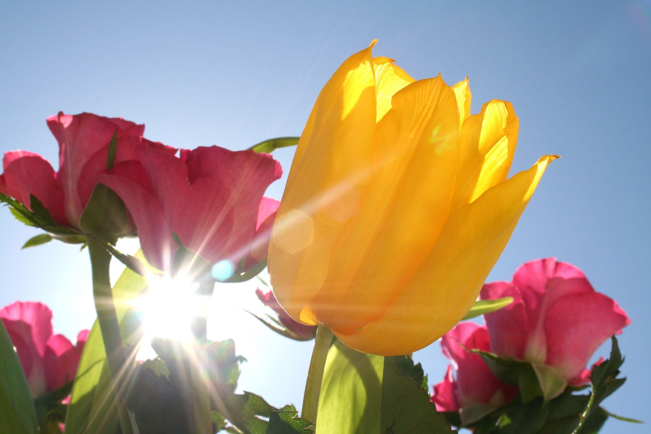 Bild mit Farben, Gelb, Natur, Pflanzen, Himmel, Jahreszeiten, Blumen, Frühling, Blume, Pflanze, Tulpe, Tulips, Tulpen, Tulip
