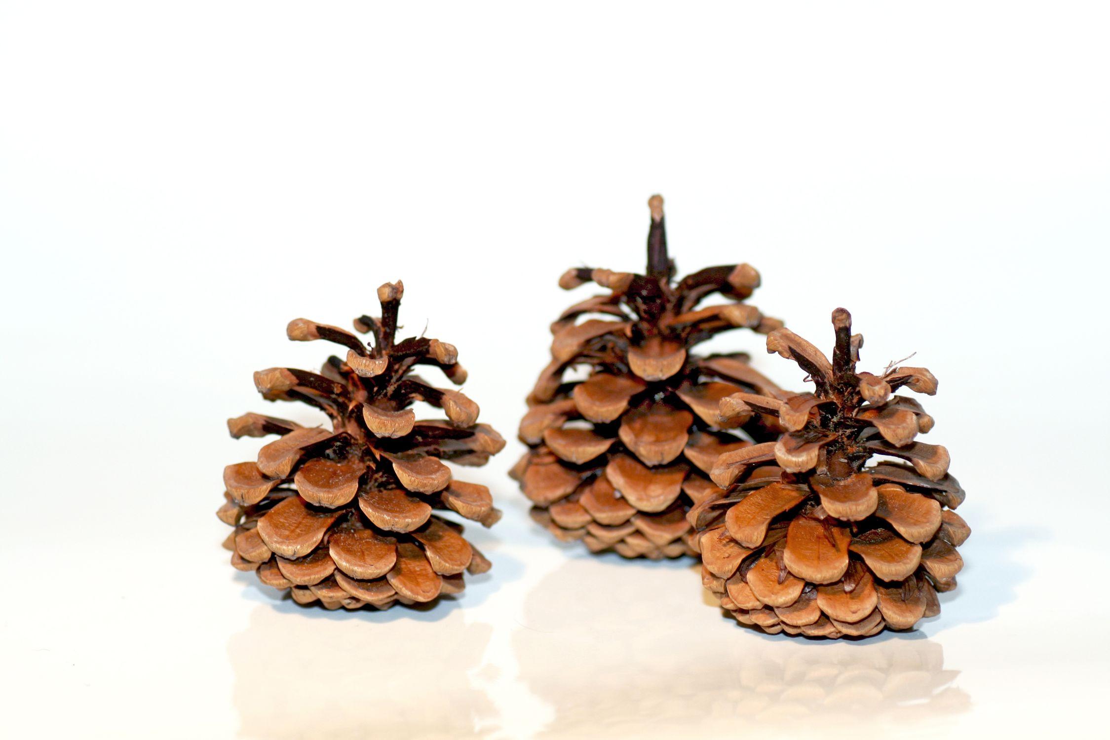 Bild mit Kiefern, Zapfen, Kiefernzapfen, Kienäpfel