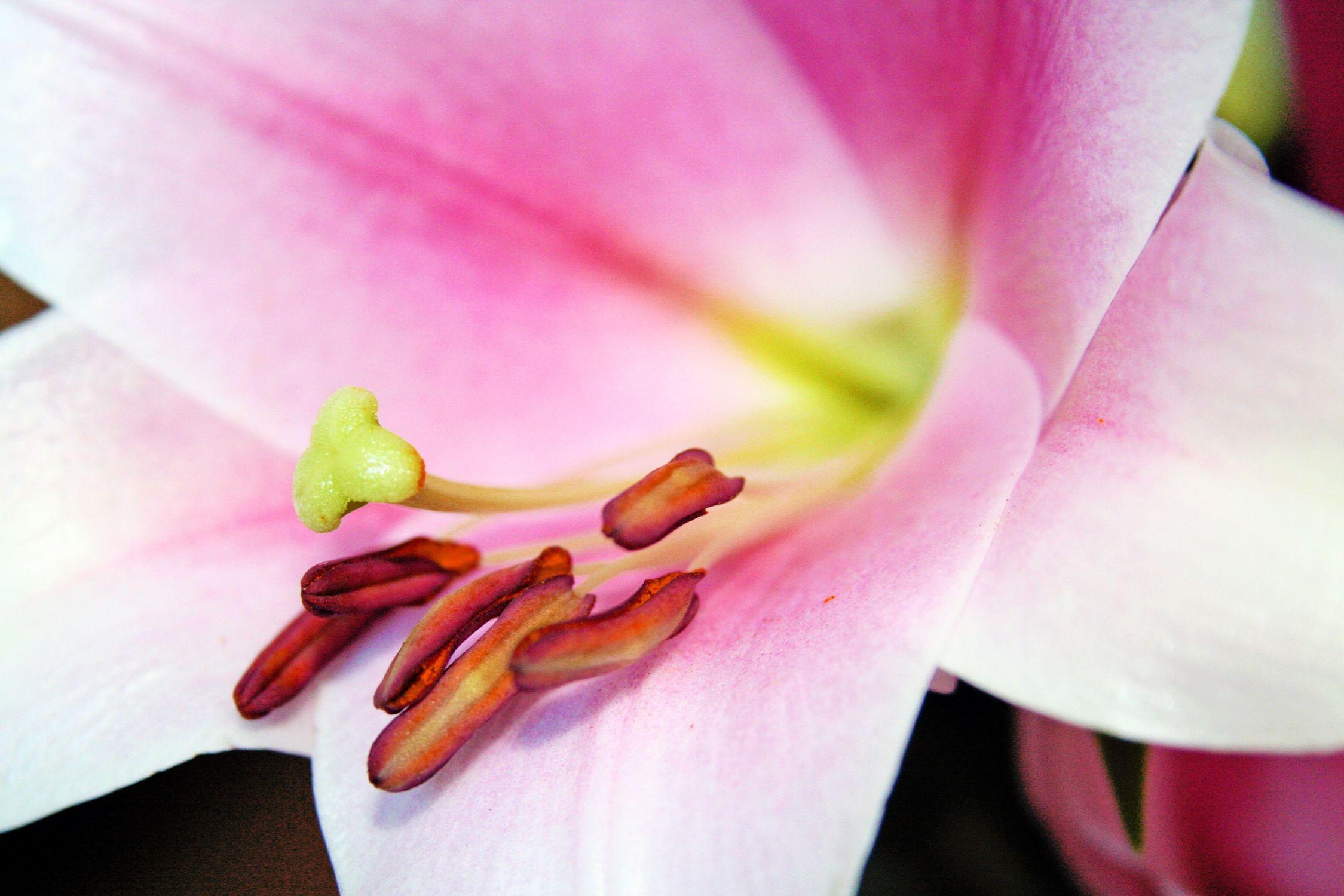 Bild mit Farben, Natur, Pflanzen, Jahreszeiten, Blumen, Weiß, Rosa, Frühling, Lilie