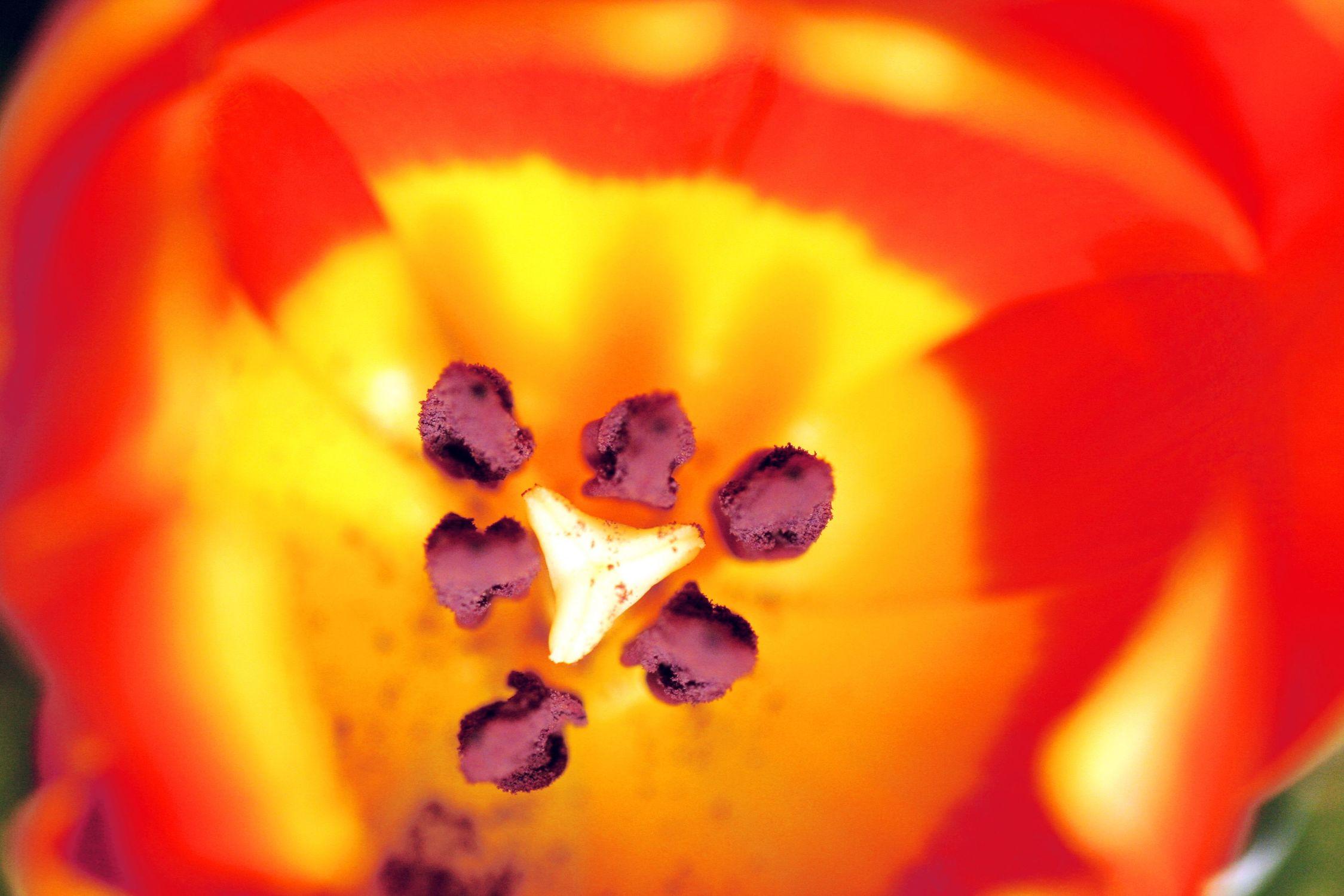 Bild mit Farben, Orange, Gelb, Natur, Pflanzen, Jahreszeiten, Blumen, Blumen, Frühling, Rot, Makrofotografie, Blume, Pflanze, Makro, Tulpe, Tulips, Tulpen, Tulipa, Flower, Flowers, Tulip, red, rote Tulpe, rote Tulpen, red tulip, red tulips