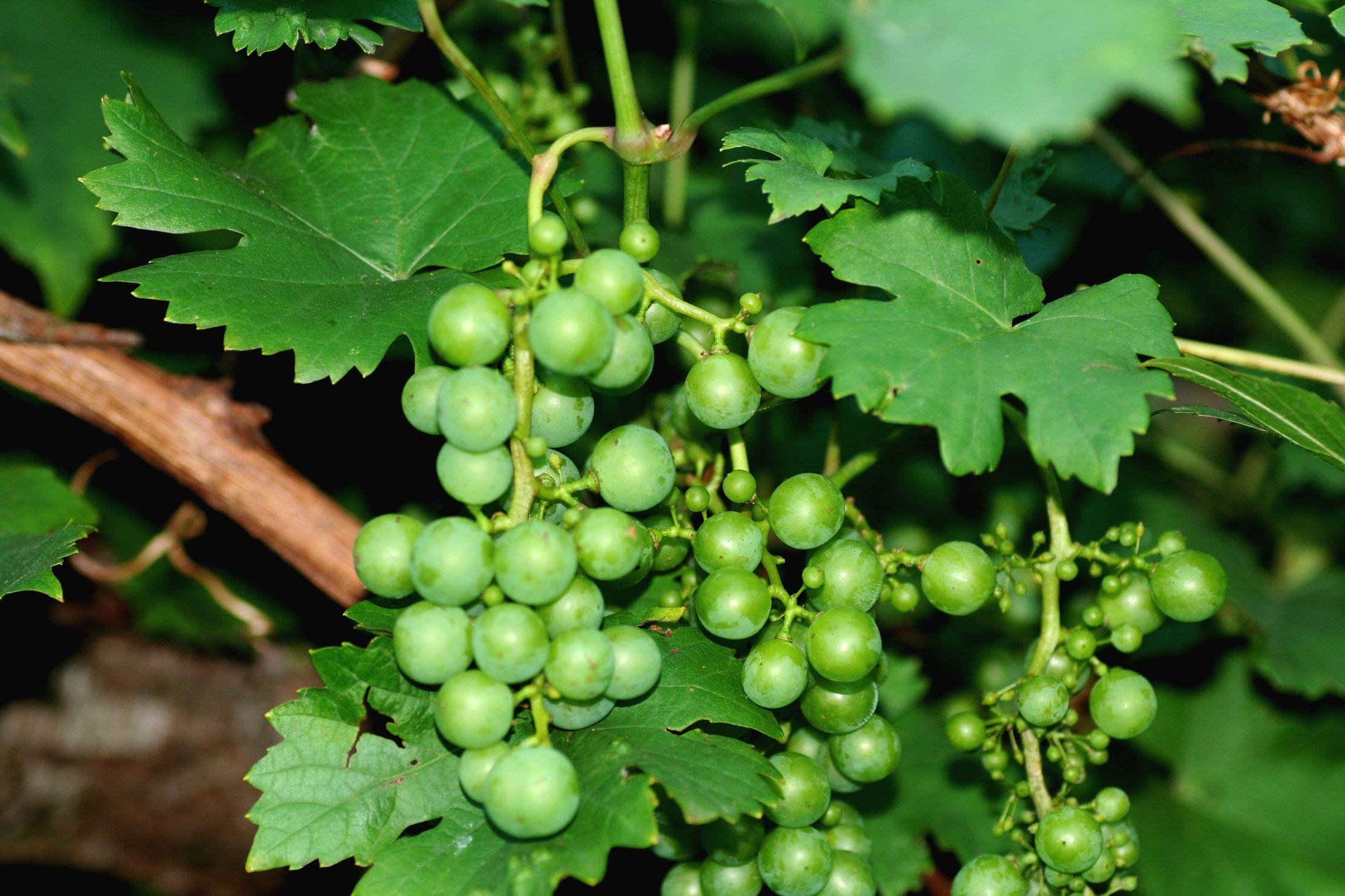 Bild mit Natur, Pflanzen, Früchte, Lebensmittel, Essen, Blumen, Trauben, Weinstöcke, Weinreben, Weintraube, Weintrauben, Traube, Weinbeere, Weinbeeren, Weinrebe