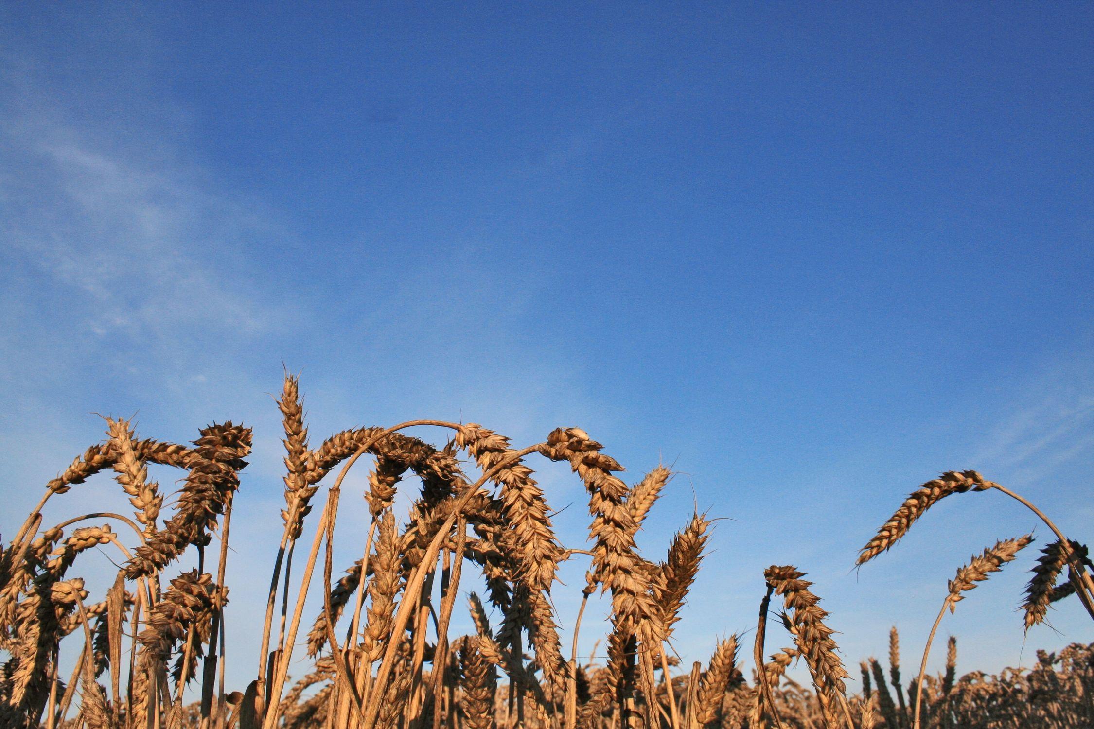 Bild mit Natur, Pflanzen, Gräser, Getreide, Feld, Felder, landwirtschaft, Korn, Weizen