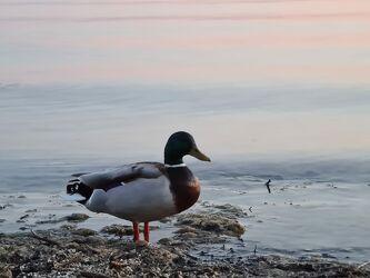 Bild mit Wasser, Enten, Bodensee