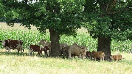 Bild mit Landschaften, Bäume, Laubbäume, Kühe, Ländliche Gebiete, Gras, landwirtschaft, Kälber