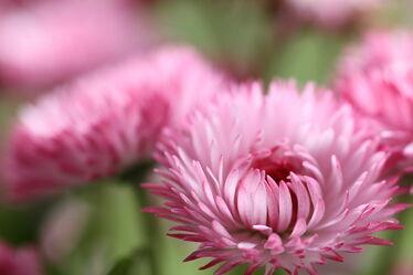 Bild mit Natur, Blumen, Frühling, Flower, Blüten, pink, spring, Chrysantheme