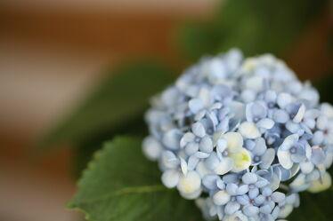 Bild mit Natur, Blumen, Frühling, Blau, Makro, Flower, Blüten, Hortensie, spring, Hortensienblüte