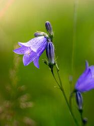 Bild mit Natur, Pflanzen, Blume, Makro, Wiese, Licht, Blumen und Blüten