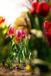 Bild mit Natur, Pflanzen, Sonnenuntergang, Tulpen, Wiese, Sonnenlicht, Bremen
