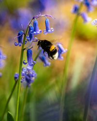 Bild mit Natur, Sommer, Fliegen, Blume, Pflanze, Wiese, Biene, Haselglöckchen