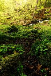 Bild mit Natur, Pflanzen, Bäume, Wald, Licht, Fluss, Moos, Klee