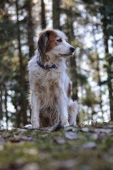 Bild mit Hunde, Sonne, Wald, Märchenwald, Spaziergang, Fotografien Tiere, Sonnenstrahlen