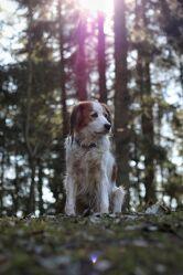 Bild mit Sommer, Sonne, Wald, Waldlichtung, Hund, Spaziergang, Fotografien Tiere