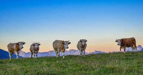 Simmenthaler Kühe im Abendrot