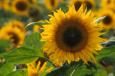 Bild mit Blumen, Sonnenblumen, Blume, Wiese, Sonnenblume, Feld, Felder, Blüten, blüte, Wiesen