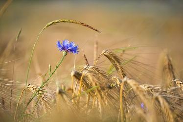 Bild mit Natur, Frühling, Blau, Sommer, Blume, Pflanze, Makro, Gras, Wiese, Feld, Flora, Kornblume, Wild, Weizen, blühen, wildblume, aufblühen