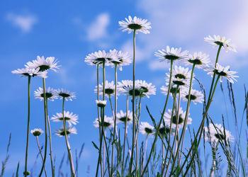 Bild mit Blumen, Blume, Makro, Wiese, Margeriten, Margerite, Blüten, Makros, blüte, Wiesen, Blumenbilder