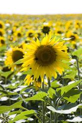 Bild mit Blumen, Sonnenblumen, Blume, Sonnenblume, Blüten, blüte, Sonnenblumenfeld