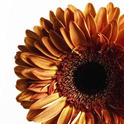 Bild mit Pflanzen, Blumen, Gerberas, Blume, Pflanze, Gerbera, Blüten, blüte