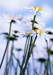 Bild mit Pflanzen, Blumen, Blume, Pflanze, Margeriten, Margerite, Blüten, blüte