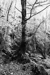 Bild mit Natur, Laubbäume, Wald, Wald, Laubbaum, schwarz weiß, Laub, Naturfoto