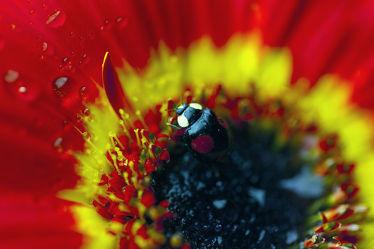 Der Marienkäfer auf der Gerbera