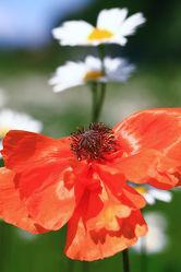 Bild mit Blumen, Mohn, Blume, Mohnblume, Poppy, Poppies, Flower, Mohnblumen