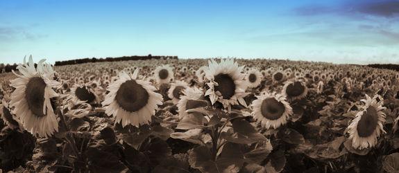 Bild mit Sonnenblumen