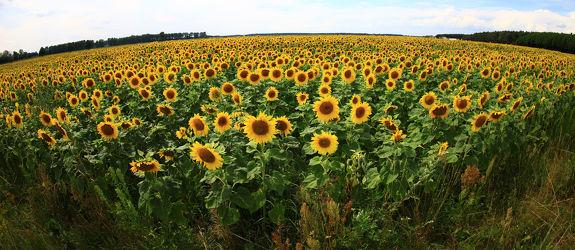 Bild mit Pflanzen,Blumen,Sommer,Sonnenblumen,Blume,Pflanze,Flower,Flowers,Sonnenblume,Sunflower,summer,Blumenbild