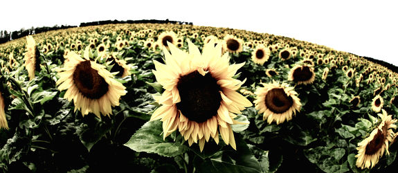 Bild mit Pflanzen,Blumen,Sommer,Sonnenblumen,Blume,Pflanze,Flower,Flowers,Sonnenblume,Sunflower,VINTAGE,summer,Blumenbild