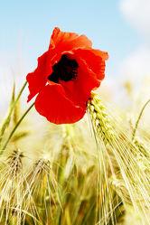 Bild mit Blumen, Mohn, Blume, Mohnblume, Poppy, Poppies, Mohnfeld, Flower, Mohnblumen, Mohnfelder