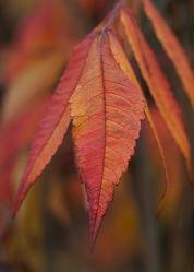Blätter vom Essigbaum