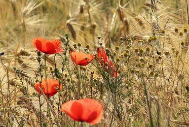 Bild mit Blumen, Getreide, Mohn, Blume, Mohnblume, Mohnblumen, Kamille