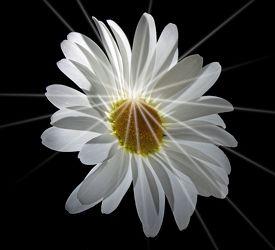 Bild mit Pflanzen, Blumen, Blume, Pflanze, Margeriten, Margerite, Floral, Stilleben, Blüten, Florales, Sterne, blüte, stern