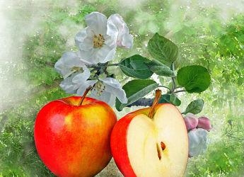 Apfelblüte,