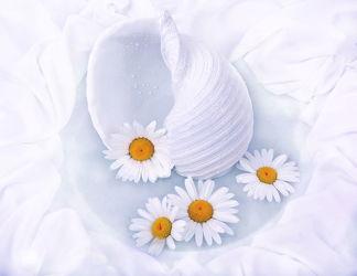 Bild mit Blumen, Weiß, Blume, Muschel, Muscheln, Margeriten, Margerite, Floral, Stilleben, Blüten, Florales, Wellness, blüte
