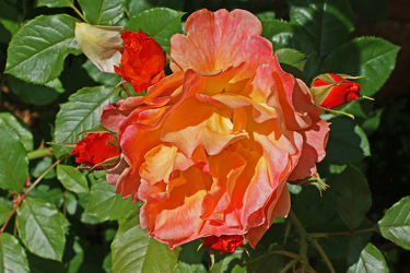 rot, gelbe rose