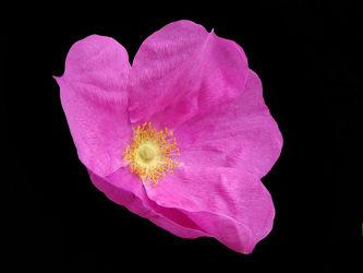 rosa rose freigestellt