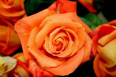 goldene rosen