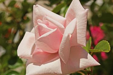 pastell, rosa rose