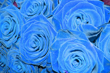 blaues rosenbouckett