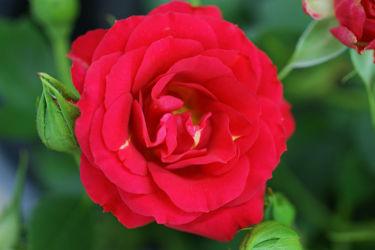 rote rose mit grüner knospe